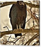 Black Vulture 1 Acrylic Print