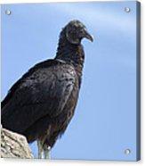 Black Vulture - Coragyps Atratus  Acrylic Print