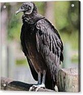 Black Vulture On The Boardwalk Acrylic Print