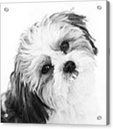 Black  White Puppy Acrylic Print by Paulina Szajek