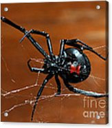 Black Widow Spider Acrylic Print