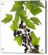 Black Wild Forest Berries Acrylic Print