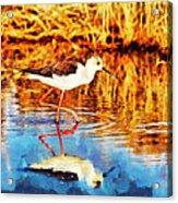 Black Winged Stilt II Acrylic Print