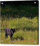 Black Wolf   7251 Acrylic Print