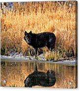 Black Wolf Reflection Acrylic Print
