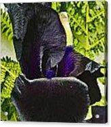 Blackbeard Acrylic Print
