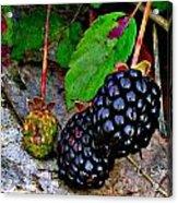 Blackberries Acrylic Print by Debbie Sikes
