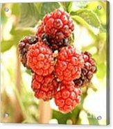 Blackberries Ripening Acrylic Print