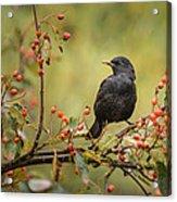 Blackbird On Branch Acrylic Print
