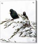 Blackbirds In Snow Acrylic Print