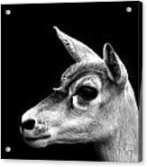 Blackbuck Female Antelope Acrylic Print
