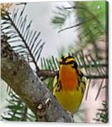 Blackburnian Warbler Looking At You Acrylic Print