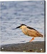 Blackcrowned Night Heron Acrylic Print