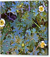 White Wooly Daisies On Borrego Palm Canyon Trail In Anza-borrego Desert State Park-ca Acrylic Print