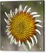 Blacksamson Echinacea Acrylic Print