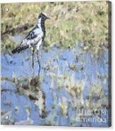Blacksmith Lapwing Or Plover Vanellus Armatus Acrylic Print