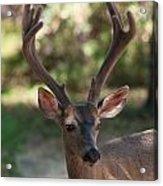 Blacktailed Buck Acrylic Print