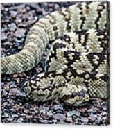 Blacktailed Rattlesnake Acrylic Print
