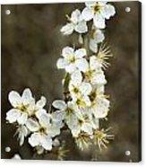 Blackthorn Or Sloe Blossom  Prunus Spinosa Acrylic Print