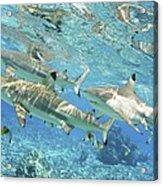 Blacktip Reef Shark Acrylic Print