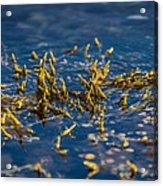 Bladder Seaweed, Fucus Vesiculosus Acrylic Print