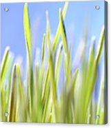 Blades Of Wheatgrass Acrylic Print