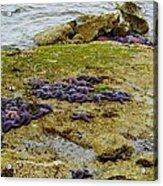 Blanket Of Seastars Acrylic Print