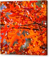 Blazing Maple Acrylic Print