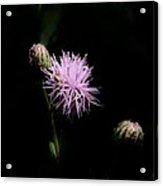 Blazing Star Acrylic Print