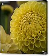 Blazing Yellow Dahlia Acrylic Print