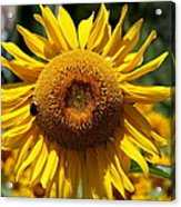 Blazing Yellow Sunflower Acrylic Print