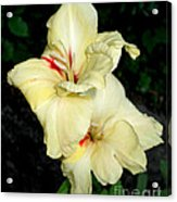 Bleeding Gladiola Acrylic Print by M C Sturman