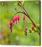 Bleeding Heart Acrylic Print