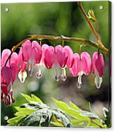 Bleeding Heart Flower Acrylic Print by James Hammen