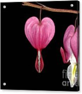 Bleeding Heart Flowers Showing Blooming Stages  Acrylic Print