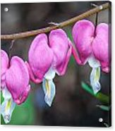 Bleeding Hearts 456 Acrylic Print