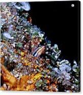 Blennys 1 Acrylic Print