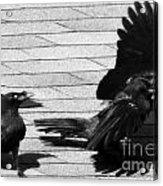 Blind Crow Acrylic Print