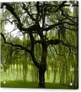 Bloedel Willow Acrylic Print