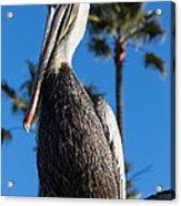 Blond Pelican Acrylic Print