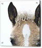 Blonde Horse Acrylic Print