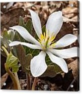 Blood Root 1 Acrylic Print