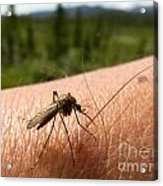 Blood Thirsty Mosquito On Human Arm Acrylic Print
