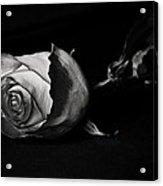 Bloodless Rose Acrylic Print