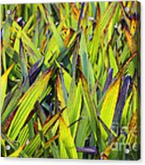 Bloodroot Abstract Acrylic Print