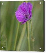 Bloody Cranesbill Flower Acrylic Print