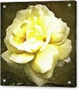 Bloom In Full Acrylic Print by Cathie Tyler