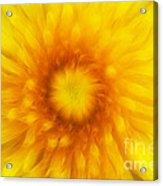 Bloom Of Dandelion Acrylic Print