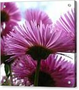 Bloom Pink Daisies Acrylic Print