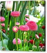 Bloom Pink English Daisies Acrylic Print